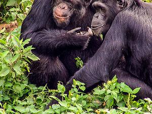 Chimpanzee Trekking Uganda Photos