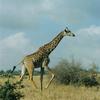 A Giraffe In Nairobi National Park.