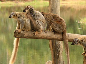 East: Lemurs - Culture and Pangalanes Channel Photos