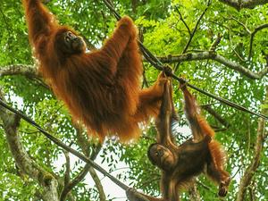 5 Days and 4 Nights Orangutan Holiday (OT5) Photos