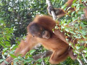 Semenggok Orangutan Rehabilitation Centre Tour from Kuching Photos