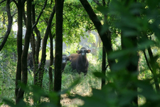 Bison At Kanha National Park