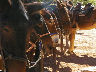 Bright Angel Trail Mules