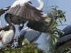 Cambodia Wildlife - Prek Toal Bird Sanctuary