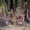 Chinkara At Mayureshwar Wildlife Sanctuary