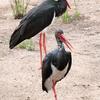 Black Stork Kolkheti National Park