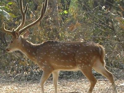 Deer At Nawabganj Bird Sanctuary