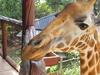 Giraffe Center - Nairobi