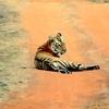 Tiger Siesta On Tadoba Jungle Trail
