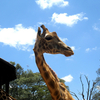 Giraffe Center Inmate