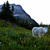 Goat Mountain - Glacier - USA