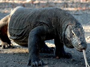 Visit komodo dragon Photos