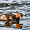 Little Grebe In The Lake