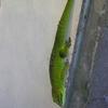 Madasgascar Day Gecko