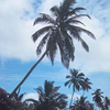Palm Trees On The Cocos Islands