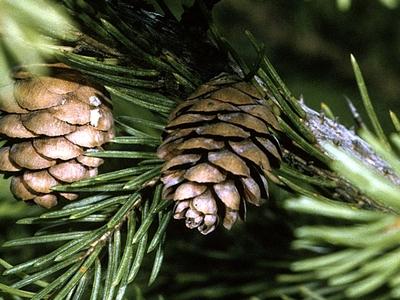 Picea Rubens Cone