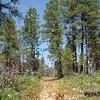 Ponderosa Forest