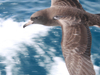 Flesh Footed Shearwater