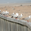 Seagulls At Cape Cross