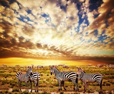 Serengeti Tanzania Zebras