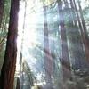 Sunlight Shining Through Redwood Trees