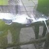 Tiger Catfish