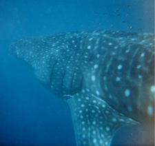 Whale Shark Australia