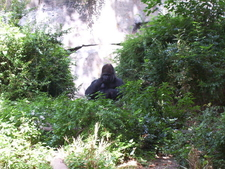 Gorilla In Woodland Park Zoo