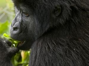 12 Days Uganda Rwanda Gorilla & Primates Tour Photos