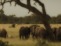Game Drive With Elephants